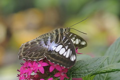 Clipper Butterfly - Parthenos sylvia (Phasmomantis) Tags: