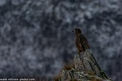 Der Adler (A.Nilssen Photography) Tags: norge norway karlsøy hansnes eagle ørn adler bird animal