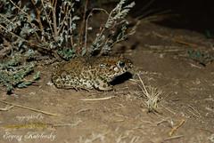 Bufotes viridis (Evgeny Kotelevsky) Tags: herpingtheearth evgenykotelevsky herpetology amphibian frog bufonidae bufotesviridis