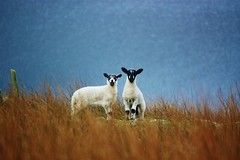 283 (2) (Gussyfinknottle) Tags: lambs curious animals cute lake lakedistrict lakedistrictnationalpark cumbria england britain beautiful outdoors wild wildlife colour autumn winter cold sheep little small adventure