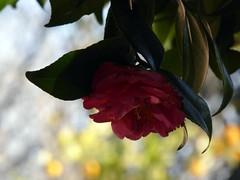 tempo di camellie (fotomie2009) Tags: camellia camelia flora flower fiore red bokeh dof