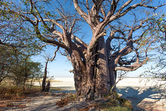 The Baobab Tree _6835 (hkoons) Tags: bainesbaobab bainesbaobabs islandsafaricamp kubuisland kudiakampan kukomeisland lakemakgadikgadi lekhubuisland makgadikgadipan nationalpark nxaipannationalpark nxaipan sevensisters southernafrica suapan africa baobab botswana maun sowa sua tree ancient antique arbor bloom blossom branch branches bud buds canopy color flat flora flower green growth large leaf leaves limb limbs old outdoors pan panorama roots salt soil stem sun sunshine trees trunk