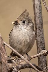 Oak Titmouse (alicecahill) Tags: ca california usa wild wildlife ©alicecahill oaktitmouse nationalpark pinnaclesnationalpark montereyccounty animal