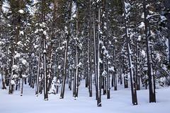 Storm stripes (BDFri2012) Tags: forest snow stripes trees frozen frosted mammothlakes mammothmountain mammoth twinlakes easternsierra highsierra highsierras sierranevadamountains sierra us395
