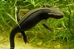 Cynops pyrrhogaster, (henk.wallays) Tags: lurche caudata henkwallays amphibien amphibia macro cynopspyrrhogaster chordata amphibie natuur amfibien cynops anfíbios земноводні nature closeup amfibie salamandridae aaaa wildlife