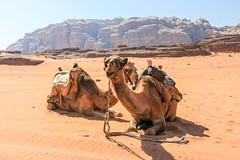 Wadi Rum (Ralph Apeldoorn) Tags: camel desert wadirum akaba jordanië jo