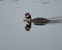 Fuut. (d50harry123) Tags: natuur waterdruppel waterdruppels macro birdphotography waterbird fuut sigma100400 nikonnl nikon d750 natureandanimals harrykramer