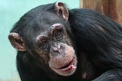 Chimpansee (K.Verhulst) Tags: chimpansee chimpanzee mensaap ape amersfoort dierenparkamersfoort apen monkeys coth5