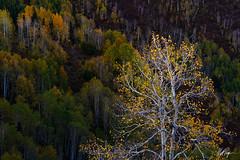 Resiliency (Matt Payne Photography) Tags: aspen aspentrees autumn carbondale colorado fall fallcolors intimatelandscape landscape mcclurepass sunset