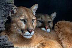 headrest (ucumari photography) Tags: ucumariphotography animal mammal nc north carolina zoo cougar mountainlion catamount puma pumaconcolor march 2019 dsc8218 heath olive specanimal