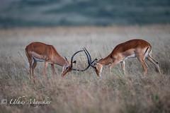 Impalas sparing (mayekarulhas) Tags: narok riftvalleyprovince kenya ke impala animal africa antilope sparing masaimara canon wildlife wild