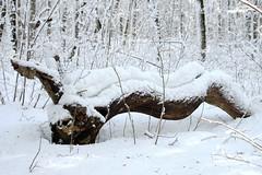 Vana tamm (Jaan Keinaste) Tags: pentax k3 pentaxk3 eesti estonia loodus nature lehmjatammik puu tree old vana talv winter lumi snow