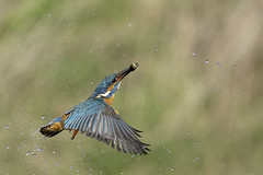 victorious fisher king (richgparkes) Tags: kingfisher fish diving blue orange bird wildlife nature water drop