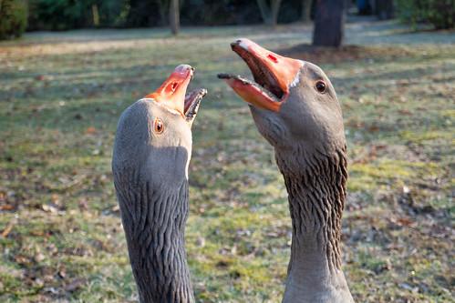 Geese alarm system