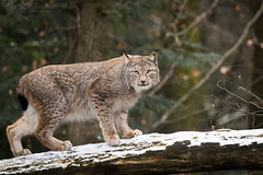 Lynx on a fallen tree (Cloudtail the Snow Leopard) Tags: luchs lynx katze cat feline animal tier säugetier mammal beutegreifer predator pinselohr wildpark pforzheim