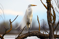 Great_Egret_06 (DonBantumPhotography.com) Tags: wildlife nature birds animals greategret whitebird donbantumphotographycom donbantumcom