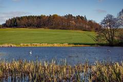 Frühlingserwachen (berndtolksdorf1) Tags: landschaft landscape wald feld teich wasser schilf schwäne outdoor