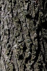 Tree bark (lebre.jaime) Tags: portugal beira covilhã forestpark tree bark nikon d600 carlzeiss makroplanar cf40120 digital fullframe affinity affinityphoto