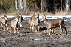 Guiding the pack to safety (stkorhon) Tags: nikon d500 200500 viikki suomi finland metsäkauris roedeer luonto nature wildlife capreoluscapreolus deer