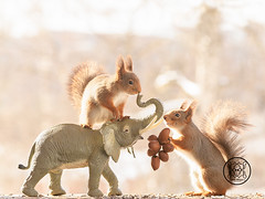 red squirrel standing  on an elephant with nuts (Geert Weggen) Tags: holidayevent snow squirrel winter animal closeup cute horizontal looking mail mammal nature nopeople photography red rodent season sweden quirrel water wet drop melt welting elephant sun spring food nut bispgården jämtland geert weggen hardeko ragunda