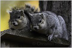 Am I interrupting something? (Christian Hunold) Tags: delmarvafoxsquirrel delmarvafuchshörnchen treesquirrel chincoteaguenwr christianhunold