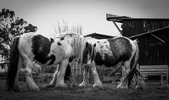 Cockfield Fell . (wayman2011) Tags: colinhart fujifilmxf50mmf2 fujifilmxt1 lightroom5 wayman2011 bw mono rural horses pennines dales teesdale cockfieldfell cockfield countydurham uk