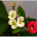 Euphorbia Milii :