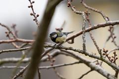 Vogel Part II (bewölkt) (Tommes80) Tags: sonyalpha7iii sony vögel natur vogel baum bewölkt regen vollformat sonytele