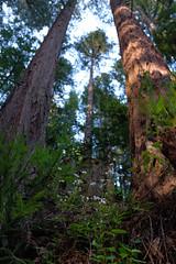 together (peaceblaster9) Tags: tree redwoods plant flower forest woods nature spring hike california 大木 レッドウッド 森 森林 自然 春 カリフォルニア ハイキング 撮って出し jpg