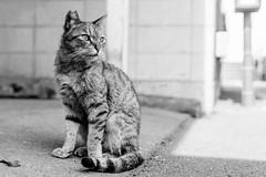 Stray cat lives at Ogimachi Station : 扇町駅で暮らす猫 (Dakiny) Tags: 2019 march japan kanagawa kawasaki kawasakiku kawasakiward railwayjrtsurumiline city street ogimachi ogimachistation animal mammal cat bokeh nikon d750 tamron f012