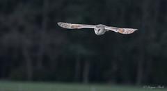 LQ5A3737 (larysaflack) Tags: barn owl hunting bird prey