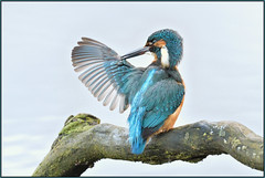 Kingfisher (image 1 of 3) (Full Moon Images) Tags: suffolk wildlife trust nature reserve bird kingfisher