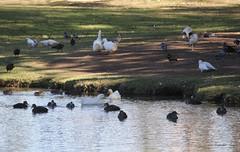 Meet me at the duck pond (Pamela Jay) Tags: birds ducks geese ibis pigeons pond water parkland pamelajay australia cockatoo