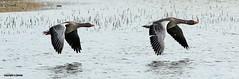 J78A0264 (M0JRA) Tags: swans robins birds humber ponds lakes people trees fields walks farms traylers ducks