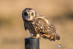 Short Eared Owl (Simon Stobart - Back For Now) Tags: short eared owl asio flammeus perched north east england uk