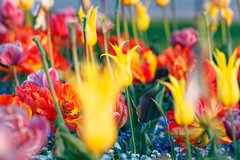 Jardin des Tuileries, Paris, France (o.mabelly) Tags: sony a7rii paris carl zeiss contax yashica ilce7rm2 novoflex cy france alpha contaxyashica a7rm2 a7 ilce europe city ville f4 teletessar tele tessar 300mm jardins tuileries fleurs flowers