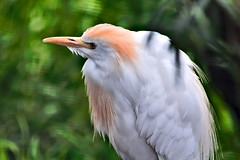 Cattle Egret (jamestapatio) Tags: