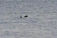 Haahka (TheSaOk) Tags: haahka somateriamollissima vesilintu wildfowl bird birdlife linnut lintu meri ocean baltic sea lauttasaari finland suomi kevät