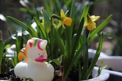 Early spring balcony (II) (dididumm) Tags: balcony flowers rubberduckunicorn spring sunshine daffodil narcissuspseudonarcissus yellow gelb narzisse osterglocke sonnenschein frühling badeentcheneinhorn quietscheentcheneinhorn badeeinhorn quietscheeinhorn blumen balkon