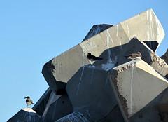 SEAGULLS,  MUSCAT,  OMAN,  ARABIA (vermillion$baby) Tags: bird marina muscat oman seabird seagull uae gull gulls ocean seabirds