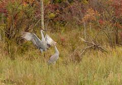 Sandhill Cranes (BirdFancier01) Tags: sandhillcranes cranes birds birdphotos birdphotography nature wildlife