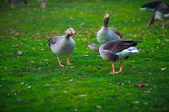-Where were you last night? (Fnikos) Tags: park parc parque parco grass nature bird goose conversation outdoor