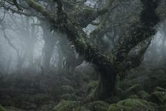 Life (www.neilburnell.com) Tags: wistmans dartmoor landscape woodland mist fog mood
