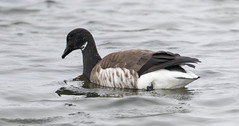 7K8A1067 (rpealit) Tags: scenery wildlife nature edwin b forsythe national refuge brigantine brand goose geese bird