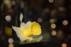 Golden Trumpet... (KissThePixel) Tags: dreamy daffodil daffodils flower flowers yellowflower goldflower spring meadow daffodilmeadow wintermeadow springmeadow nikon nikond750 70200mm sigma70200mm bokeh macro makro closeup creativephotography creativeflowers