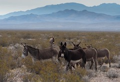 Wild burros in open range outside of Beatty, Nevada (A  Train) Tags: nikond750 nikon tamron70200mmg2 tamron landscape animal burro donkey equineart equine beattynevada nevada deathvalley daylightpassroad herd mojavedesert desert openrange