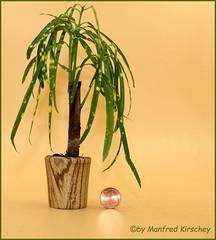 Mini-Palme Topf aus Holz gedrechselt Topf Mini palm wood pot turned bowl (manfredkirschey) Tags: bonsai drechseln natur holz zebrano kaktus palme mini klein