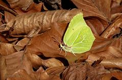 Zitronenfalter (Gonepteryx rhamni) (AchimOWL) Tags: schmetterling insekt insect tier tiere animal makro macro zitronenfalter landschaft outdoor wald gx80 natur nature lumix panasonic tagfalter ngc macrodreams butterfly fauna owl ostwestfalen deutschland wildlife