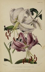n13_w1150 (BioDivLibrary) Tags: gardening horticulture usdepartmentofagriculturenationalagriculturallibrary bhl:page=57723654 dc:identifier=httpsbiodiversitylibraryorgpage57723654 artist:name=augustainneswithers augustainneswithers hernaturalhistory