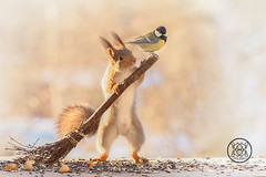 Red squirrel is  holding a broom with a titmouse on it (Geert Weggen) Tags: squirrel red animal backgrounds bright cheerful close color concepts conservation culinary cute damage day earth environment environmental equipment love winter snow photo acorn nut food tree homeless roofless houseless garbagecan garbage broom bird tit greattit titmouse bispgården jämtland sweden geert weggen hardeko ragunda